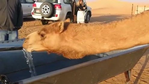 骆驼3周没喝过水,刚看见水一口气就喝了120公斤,场面壮观!