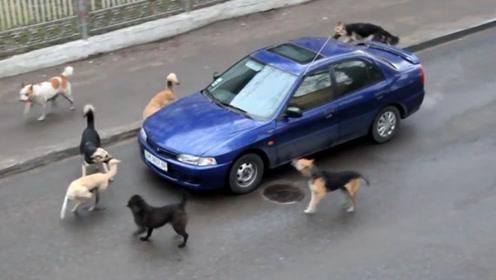 司机欺负流浪狗,没想到狗记仇,喊来同伴集体围攻司机