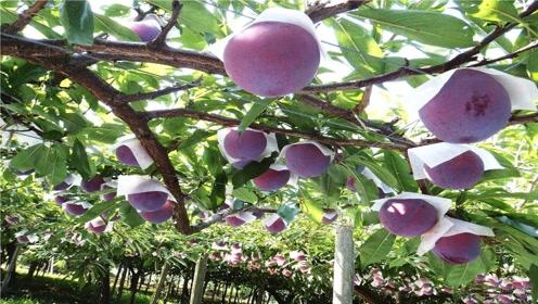 """看看日本这个农场,种个李子比桃还大,取了个名字叫""""相扑李子"""""""