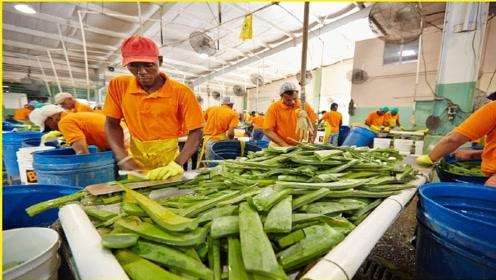 芦荟胶是怎么生产出来的?实拍全程后,还真是长了一波见识