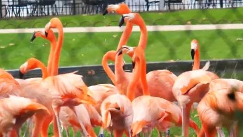 美丽优雅的火烈鸟,为什么是红色的呢