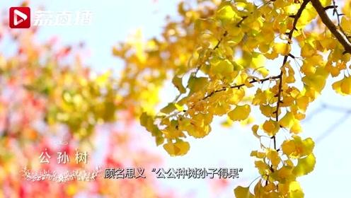 """游遍江苏丨这种树为何名叫""""公孙树""""?看完视频,你就全知道了!"""