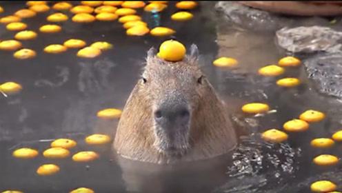 饲养员没发话,整池橘子水獭一个都不敢吃 ,网友:要成精了