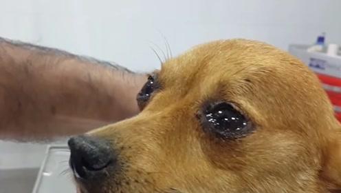 很多人都说:狗狗哭家中会出事?到底是不是迷信?让专家来告诉你答案