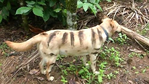 山中无老虎,狗子称霸王!印度农民为护田给家犬画上虎纹吓退猴子