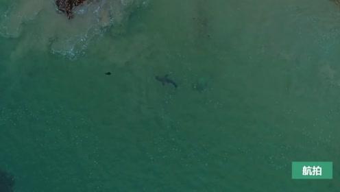 大白鲨遇到海豹假装路过,接下来它一招制服对方