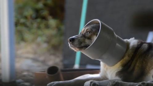 流浪狗头戴塑料管多年,志愿者救援帮它切开管子,不想发现惊喜
