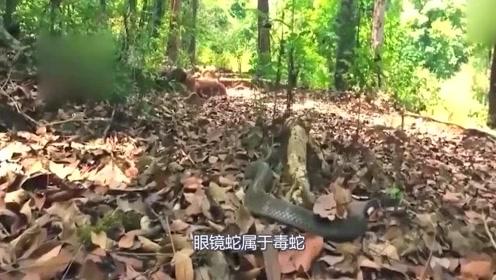 蛇族中的王者——眼镜王蛇!这家伙十分的凶残好斗,一言不合就吞食同类