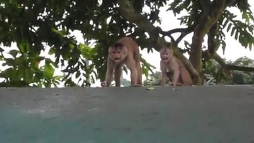 游客扔给猴子一个打火机,猴子玩火机把毛烧焦了,转身对游客就骂
