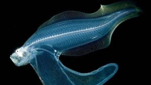 终于有不能吃的生物了,这种鱼一出水就融化,难倒了生物学家们!