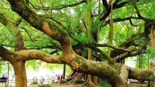 印度的树也开挂了?一棵树长成了一片森林,直径达400多米!