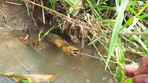 小哥钓黄鳝太厉害了,才几分钟,野生大黄鳝就这样被硬拽了出来!