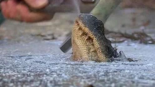 鳄鱼一觉醒来,发现自己嘴巴被冻住了,都这样了还能活吗?