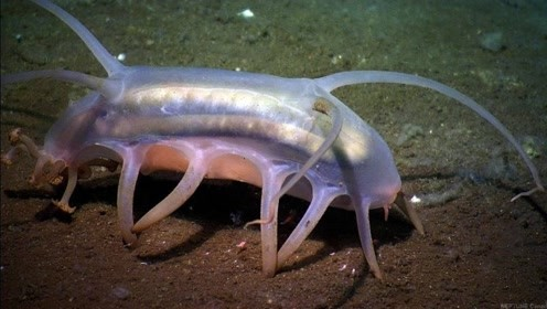 世界上最可爱的海洋生物,海猪,是一种十分圆润的可爱家伙