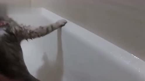 宠物都不爱洗澡的么?猫咪洗澡也费劲!听听这叫声就知道了