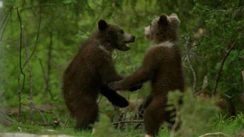 网友无意间拍到2只棕熊宝宝打架,画面萌翻了,看完忍住别笑