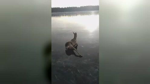 """小鹿被困结冰湖面上演""""鹿式蛙泳"""" 惨兮兮又有点好笑"""