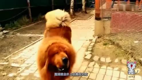 中国的藏獒和美国的比特犬对战,哪个更猛?看完大快人心!