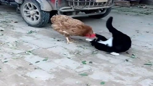 这猫死活不长记性,都差点被鸡啄瞎了,还跑来招惹它!