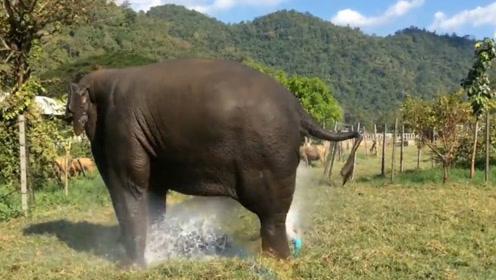 大象不小心踩坏洒水器,害怕被饲养员发现,手忙脚乱将其堵住