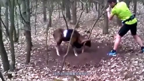 男子在山林中发现了一只山羊,靠近一看,果断将山羊救了!