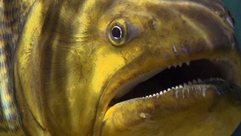 食人鱼真的会吃人吗?老外不信邪直接坐在食人鱼窝里,接下来可就有好戏看了