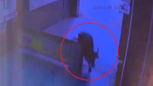 800斤疯牛闯入小区撞人 民警连开4枪击毙