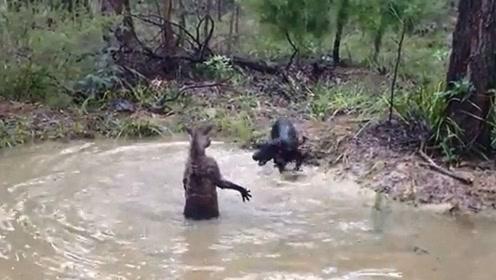 狗狗跟袋鼠打架,没想到被袋鼠摁在水里打,太厉害了