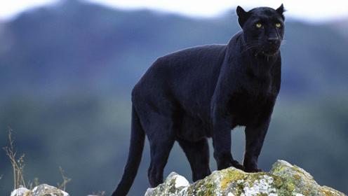 猫科动物中的黑夜幽灵,咬合力比狮虎还厉害,把鳄鱼当零食吃!