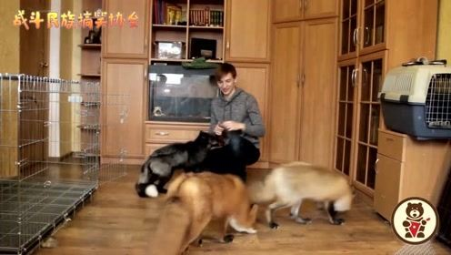 主人一口气养了3只狐狸,一到饭点就是这场面
