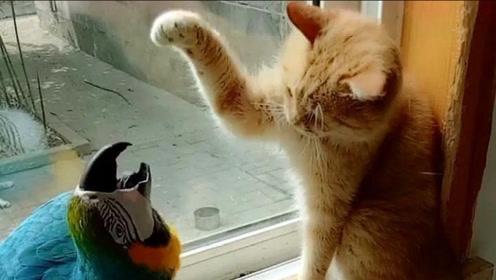 鹦鹉被猫咪欺负,老公看到以后,下一秒立刻挺身而出