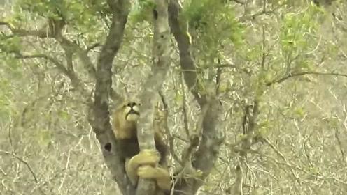 饥饿雄狮看见豹子在树上大口吃肉,心生怒气,想也没想就爬树夺取