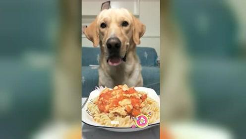 拉布拉多吃意大利面,这吃相这生活,让多少铲屎官羡慕