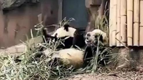 求生欲满分!四川绵阳发生地震,熊猫扔下竹子瞬间上树避难