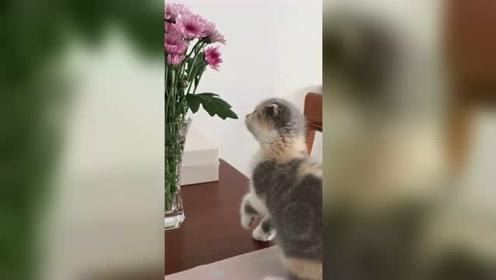 小猫咪上桌子挠花,结果偷鸡不成蚀把米
