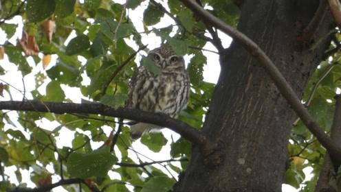 """残忍的""""黏鸟树"""",不少鸟类趋之若鹜却被困在树上,宛如飞蛾扑火自取灭亡!"""
