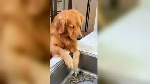 金毛拯救一只螃蟹,螃蟹怎么也没想到,自己会被金毛算计