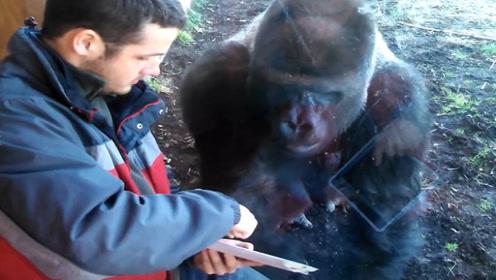 男子玩切西瓜给猩猩看,猩猩看得入迷,生怕被其它猩猩看到了!