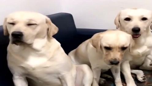 主人给狗狗们开会商量不要乱咬沙发,接下来它的反应搞笑了,真逗!