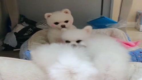 博美妈妈安静地看着狗宝宝们,看它的小模样真可爱,萌萌哒!