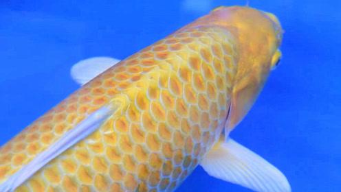 一起来见识下这几种漂亮的名贵大锦鲤,鱼友:每条身价都不低!