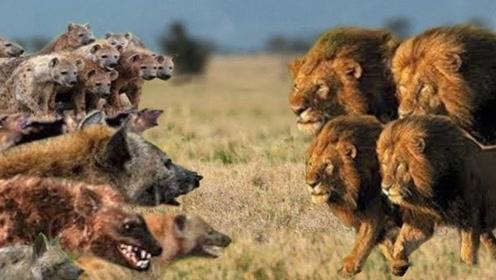 鬣狗第一次吃狮子肉,开心的在地上打滚,可以吹一辈子了