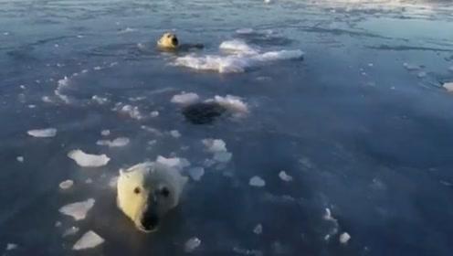萌化了!2只北极熊为追赶无人机连顶冰面数个洞