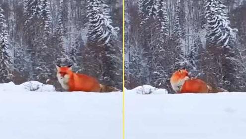 太美!大兴安岭惊现火狐狸雪地觅食