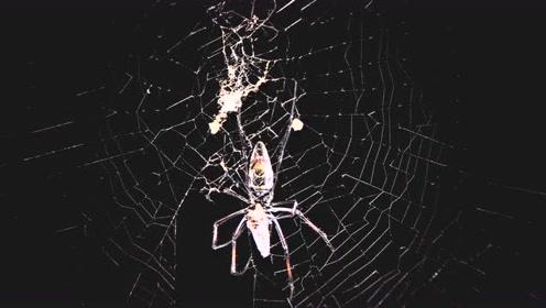 对于蜘蛛来说,找个老婆真不容易,一不小心连命都没了!
