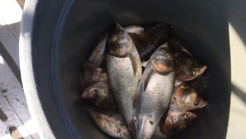 被美国称为垃圾的亚洲鲤鱼,霸占美国各个水域,本土鱼类数量下降