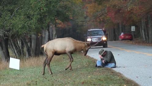 作死老外挑衅麋鹿,却被麋鹿顶得人仰马翻,自己差点进了医院