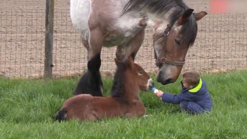 小马驹饿的不行,男孩给小马驹喂奶,马妈妈的反应十分暖心