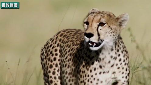 陆地短跑王猎豹奔跑时速可达120公里!却成了非洲最濒危的大型猫科动物!