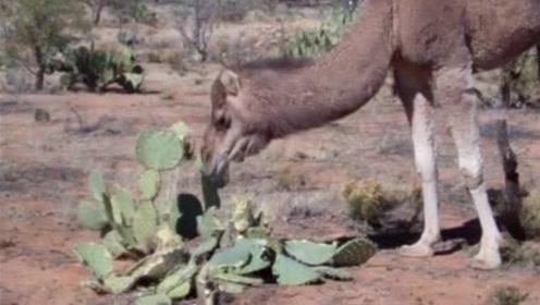 为什么骆驼是唯一敢吃仙人掌的动物?看完是真佩服,镜头记录全过程